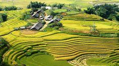 Visit Ta Van village in harvest season.  #Tavanvillage #Sapatours #Sapatours #terracedfields #vietnamtravelguide