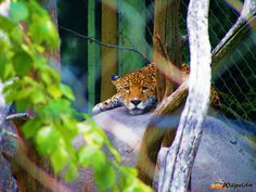 Jaguar 2...Discovery Nature... WiljoelArt...