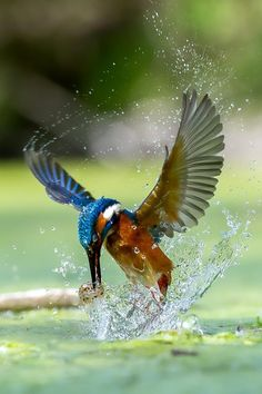 Kingfisher's Wings | Max Rinaldi Watching Kingfishers is a favorite pass time. Repinned by your friends here at SuperHumanNaturals.com