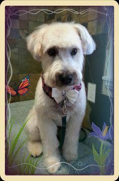 Soft Coated Wheaten Terrier, short pet clip, dog grooming in Coquitlam, Aviva Dogspaw