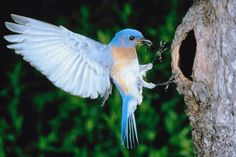 bluebird.jpg (720×481)