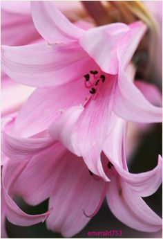 Pink Bells by *emerald753 on deviantART