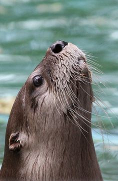 This river otter acts like a snob with his nose in the air.
