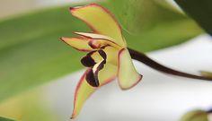 orquídea-chanel (Maxillaria marginata)