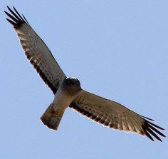 Northern Harrier at Chico Basin Ranch, Colorado. *Photo by Bill Maynard #ChicoBasinRanch