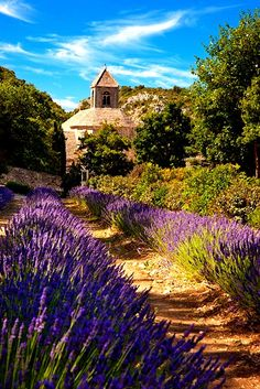 The Abbaye we visit on our Provence and French Alps Tours. Lavender leading to Abbaye de Senanque near Gordes, Provence France. Luberon Provence, Provence France, Beautiful World, Beautiful Places, Belle France, Lavender Fields, Lavander, Lavender Cottage, Lavender Garden