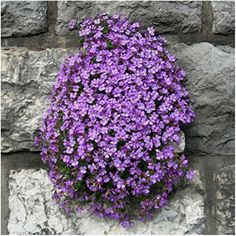 Package of 1,200 Seeds, Purple Rockcress Groundcover (Aubrieta deltoidea) Open Pollinated Seeds by Seed Needs