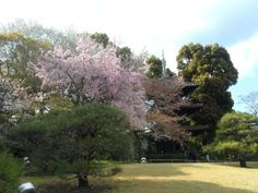 Cherry blossoms at Chinzanso Garden, Tokyo, Japan http://www.cheapojapan.com/free-beautiful-and-colourful-chinzanso-garden-in-tokyo/ #sakura #cherryblossoms