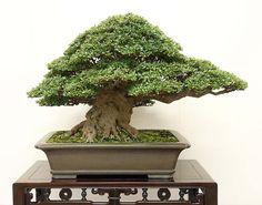 Kokufu Prize, 2012: Informal upright style Satsuki Osakazuki  (Rhododendron lateritium var. Osakazuki)