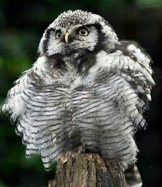 Owlet...