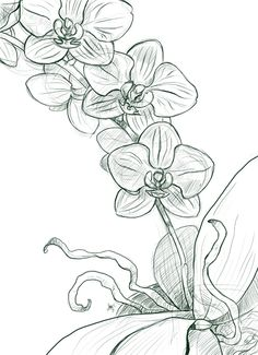 moth orchid coloring pages - photo#15