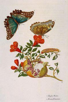Butterflies on pomegranate illustration by Maria Sibylla Merian