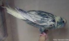 Výsledok vyhľadávania obrázkov pre dopyt lineolated parakeet