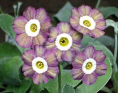 'Euston Square' Auricula [Family: Primulaceae]; Photographed by Henry Pugh