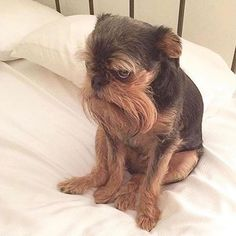 14 Funny Facts About Brussels Griffons Cute Funny Animals, Cute Dogs, Griffon Dog, Brussels Griffon Puppies, Cat Facts, Funny Facts, Animal Shelter, Pet Birds, Mammals