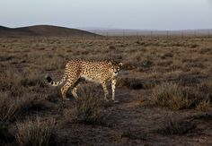 A seven-year-old male Asiatic Cheetah, named 'Koushki' walks at he Miandasht Wildlife Refuge in Jajarm, northeastern Iran on May 26, 2014. His fiance is called Delbar!