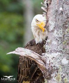 Bald eagle - via Mashaghati Photography Eagle Pictures, Eagle Wings, American Symbols, Wild Mustangs, Eagle Scout, Birds Of Prey, Raptors, Four Legged, Beautiful Birds