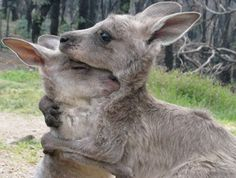 Kangaroos embrace after the Black Saturday Bush Fires of 2009.