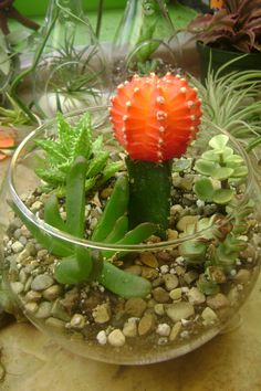 Grafted Cactus and Succulent Terrarium by GracieBellasBoutique, $20.00