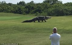 Florida, aligator gjigand në fushën e golfit