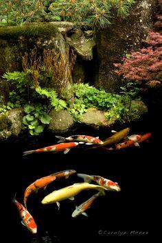 Koi Pond, an element of Water Garden    Takayama, Japan