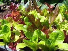 Coltivazione insalata da taglio