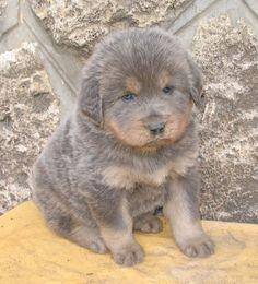 Tibetan Mastiff Dog Puppy Dogs Puppies