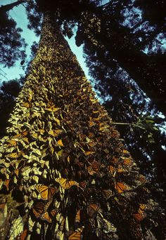 Oyamel fir trees are some 80 feet (24 meters) tall, and when thousands of monarchs are climbing up them toward the sky, they seem to vibrate and shimmer with the shifting colors of butterfly wings