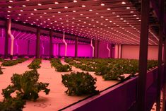 A joint venture between GrowGroup IFS from Barendrecht (The Netherlands) and RainMakers Capital Investment from Abu Dhabi, UAE, will build the largest indoor farm in the world in the desert of Abu Dhabi...