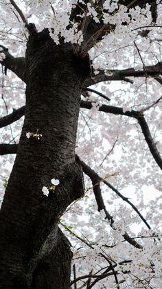 京都下京桜。高瀬川沿い木屋町通りを五条から四条まで歩いてみた。///鴨川の隣に細く流れている高瀬川。桜の木もたくさん植えられています。今回は五条通りから北に向かって四条通まで写真散歩してみました。約200本のソメイヨシノ(染井吉野)があるそうです。 #sakura