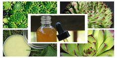 Így használd ki a kövirózsa gyógyerejét! - Zöld Újság Home Remedies, Herbs, Healthy, Plants, Therapy, Liquor, Remedies, Plant, Health