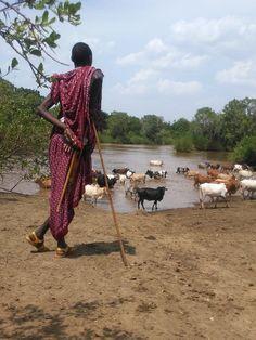 Massaï surveillant son troupeau de vaches - Tanzanie