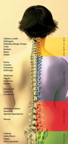 Los distintos segmentos de la columna, relacionados con distintas partes del cuerpo.