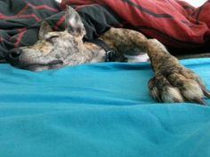 This bed is mine all mine ! Lurcher, Vegas, Meet, Animals, Animales, Animaux, Animal, Animais