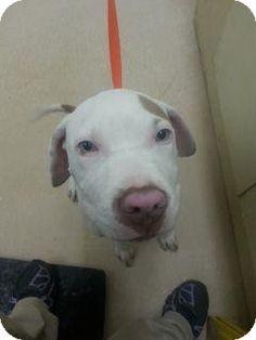 Douglasville, GA - American Pit Bull Terrier Mix. Meet Roscoe a Puppy for Adoption.