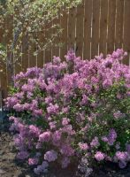 Bloomerang® Purple Lilac from Stark Bro's