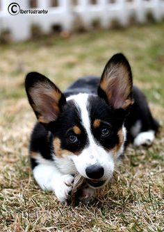 Everything About Pembroke Welsh Corgis Puppies Personality corgi funny Welsh Corgi Puppies, Australian Shepherd Puppies, Pembroke Welsh Corgi, Teacup Puppies, Dogs And Puppies, Cute Puppies, Corgi Funny, Cute Corgi, Corgi Pictures