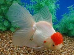 Goldfish Tank, Golden Fish, Freshwater Fish, Terrariums, Carp, Aquarium Fish, Fresh Water, Pond, Tanks