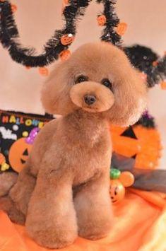 Furry Paws PEI Dog Grooming in Cornwall Prince Edward Island Dog Grooming Styles, Grooming Shop, Poodle Grooming, Cat Grooming, Yorkie Teddy Bear Cut, Teddy Bears, Japanese Dog Grooming, Asian Dogs, Poodle Haircut