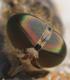 compound eyes of a horsefly