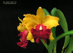 'Yellow Fox' Brassolaeliocattleya Hualet is a hybrid / via The Orchid Source