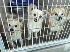 Can you see it? I could feel the love and happy coming from these pups !   Available October 29  ID #A474883 ID #A474884 ID #A474885 ID #A474886 All males , Pomeranian mix .  Please contact San Bernardino City Shelter for any more information regarding dog . 909-384-1304  https://www.facebook.com/298927593559439/photos/a.627976577321204.1073741869.298927593559439/666826843436177/?type=1
