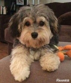 Source by neomihernandez The post Havanese Full Grown – Havanese puppies appeared first on Daisy Dogs. Havanese Haircuts, Havanese Grooming, Havanese Puppies, Cute Puppies, Dogs And Puppies, Cute Dogs, Doggies, Cockapoo Dog, Bernedoodle Puppy