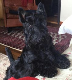 Handsome scottie