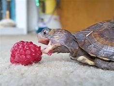Baby turtle makes heroic attempt to eat raspberry