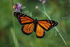 Monarch butterflies- Michigan