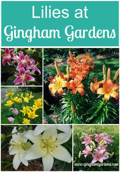 Asiatic Lilies & Oriental Lilies at Gingham Gardens