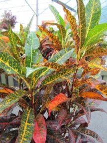 Croton Freckles / Pike Nurseries
