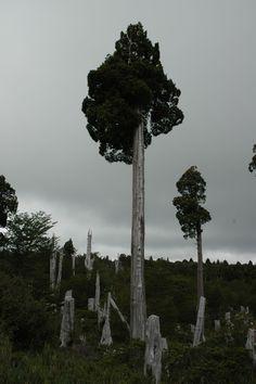 Alerce (Fitzroya cupressoides) trees, Chile. Photo by Darian Stark. www.florachilena.cl/especies.php?id=1692