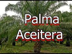 Palma africana de aceite y palma aceitera
